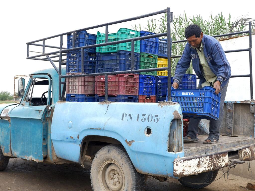 Lastbil lastas med färgglada varukorgar fyllda med sparris.
