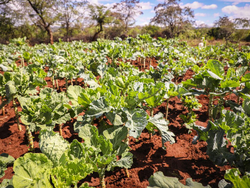 Grönsaker som växer på en åker