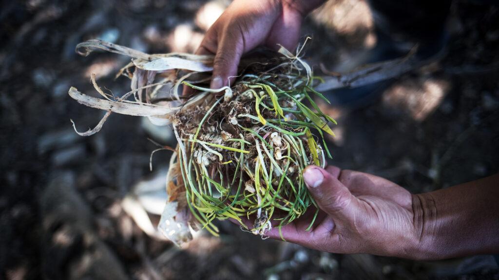 Händer som håller i majsgrödor som börjat gro.