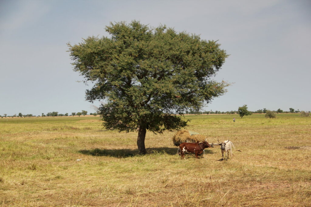 Cattle in front of a tree.