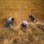 A group of people collecting grain on a field.